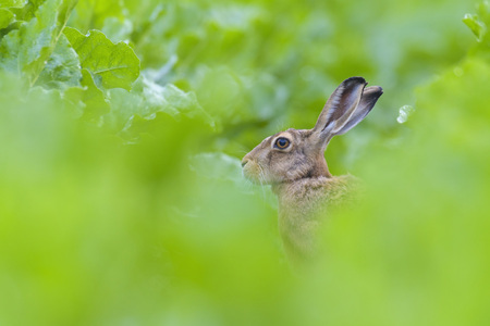 leporidae: European Brown Hare (Lepus europaeus) in Sugar Beet Field in Summer, Hesse, Germany