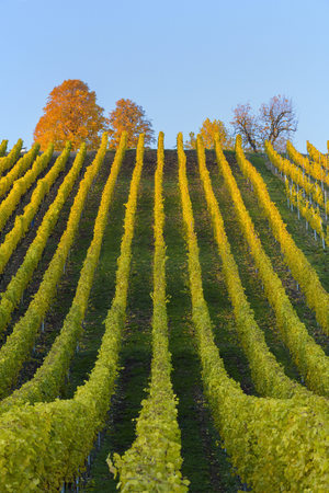 Colorful Vineyards in Autumn, Volkach, Maininsel, Alte Mainschleife, Mainfranken, Franconia, Bavaria, Germany