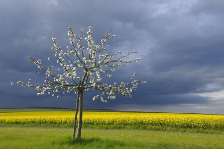 Apple Tree and Canola Field in Spring, Roellbach, Bavaria, Germany LANG_EVOIMAGES