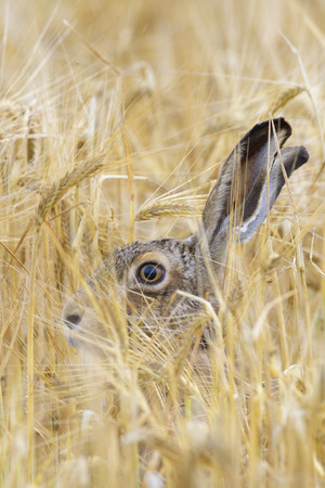 leporidae: European Brown Hare (Lepus europaeus) in Grain Field, Hesse, Germany