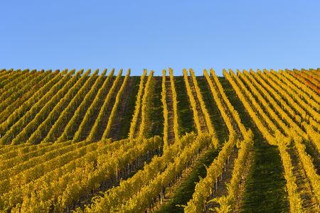 perspectiva lineal: Coloridos viñedos en otoño, Volkach, Maininsel, Alte Mainschleife, Mainfranken, Franconia, Baviera, Alemania
