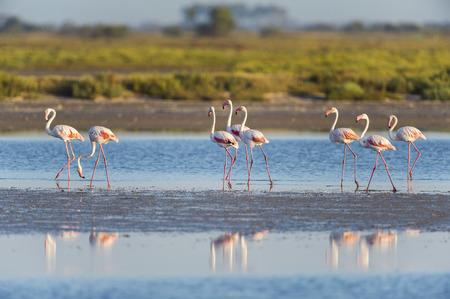 camargue: Greater Flamingos (Phoenicopterus roseus), Saintes-Maries-de-la-Mer, Parc Naturel Regional de Camargue, France