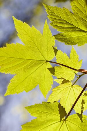 field maple: Close-up of Green Leaves in Spring, Hamburg, Germany