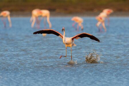 camargue: Greater Flamingo (Phoenicopterus roseus) Taking off, Saintes-Maries-de-la-Mer, Parc Naturel Regional de Camargue, France LANG_EVOIMAGES