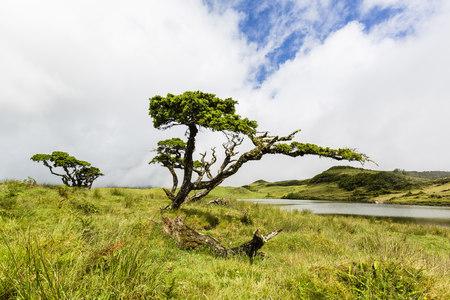ericaceae: Erica azorica at Lagoa do Capitao near Mount Pico, Sao Roque do Pico, Pico Island, Azores, Portugal LANG_EVOIMAGES