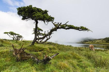 ericaceae: Erica azorica at Lagoa do Capitao against Clouds near Mount Pico, Sao Roque do Pico, Pico Island, Azores, Portugal