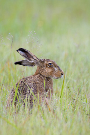 leporidae: European Brown Hare (Lepus europaeus) in Grass, Hesse, Germany