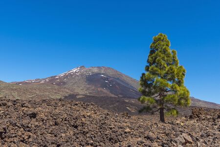 pinaceae: Pico del Teide Mountain with Pine Tree in Parque Nacional del Teide, Tenerife, Canary Islands, Spain LANG_EVOIMAGES