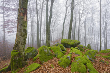 Beech Forest (Fagus sylvatica) and Felsenmeer in Morning Mist, Odenwald, Hesse, Germany LANG_EVOIMAGES