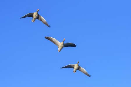 Greylag Geese (Anser anser) Flying, Hesse, Germany LANG_EVOIMAGES