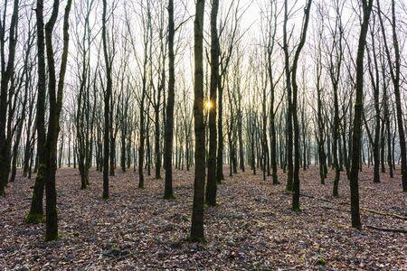 Oak Trees in Wintertime at Sunrise, Hesse, Germany LANG_EVOIMAGES
