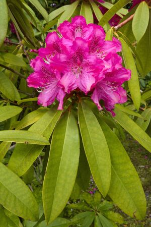 Close-up of pink flowering rhododendron bush in springtime on the Isle of Skye in Scotland, United Kingdom LANG_EVOIMAGES