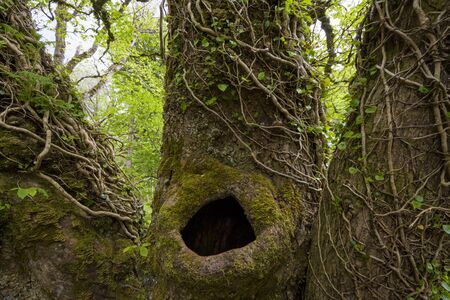 Close-up of old tree trunk with a hole surrounded by ivy in spring on the Isle of Skye in Scotland, United Kingdom LANG_EVOIMAGES