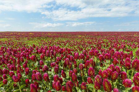 Field of crimson clover (Trifolium incarnatum) on a sunny day in Burgenland, Austria LANG_EVOIMAGES