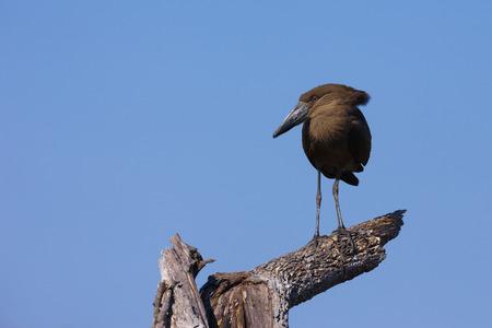 Hamerkop (Scopus umbretta) standing on tree stump at the Okavango Delta in Botswana, Africa LANG_EVOIMAGES