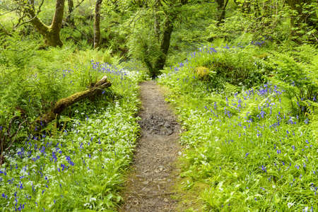 Pathway through spring forest with bears garlic and bluebells near Armadale on the Isle of Skye in Scotland, United Kingdom