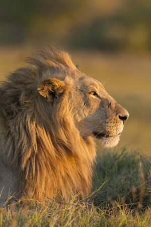 Profile portrait of an African lion (Panthera leo) at sunrise, looking into the distance at Okavango Delta in Botswana, Africa