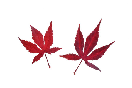 Two red autumn leaves of Japanese Maple (Acer palmatum) on a white background, Germany