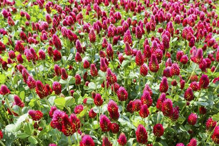 Close-up of crimson clover (Trifolium incarnatum) growing in a field in Burgenland, Austria LANG_EVOIMAGES