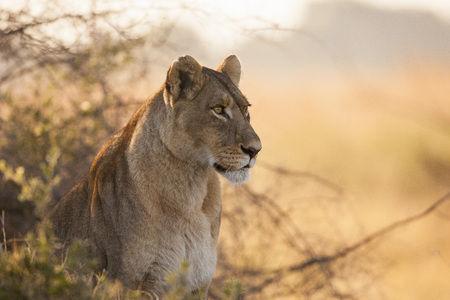 Portrait of an African lioness (Panthera leo) sitting in the brush at the Okavango Delta in Botswana, Africa