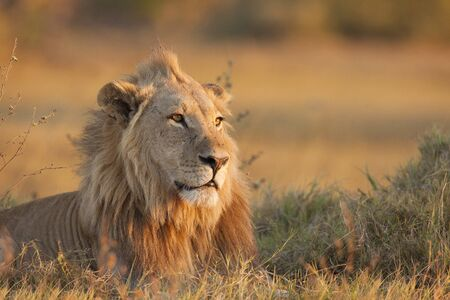 Portrait of an African lion (Panthera leo) laying in the grass at Okavango Delta in Botswana, Africa