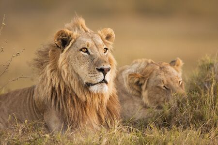 African lion and lioness (Panthera leo) lying in the grass at Okavango Delta in Botswana, Africa