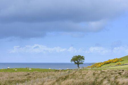 Coastal landscape with sheep grazing in fields on the Isle of Skye in Scotland, United Kingdom