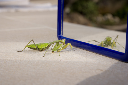 Praying Mantis by Mirror LANG_EVOIMAGES