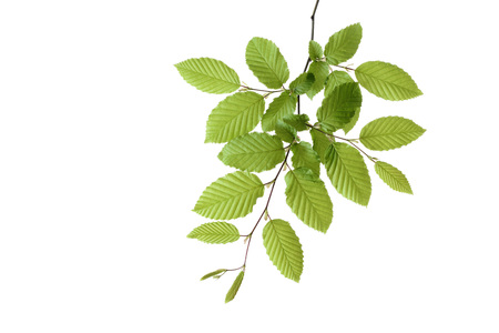 Branch of European Hornbeam (Carpinus betulus) with fresh foliage in spring on a white background, Germany LANG_EVOIMAGES