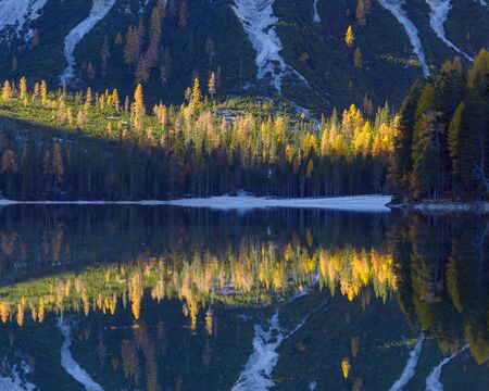 Detail of mountainside with colorful larch trees reflected in Braies Lake in autumn in the Prags Dolomites in South Tyrol, Italy