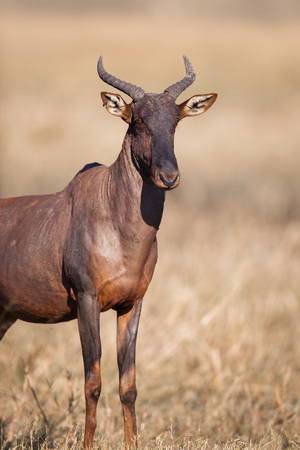 Portrait of a Topi or Tsessebe (Damaliscus lunatus) standing in grass looking at the camera at Okavango Delta, Botswana, Africa