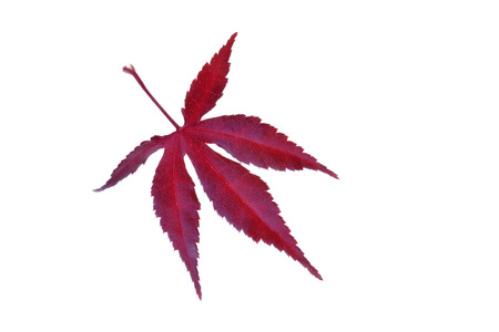 Red autumn leaf of a Japanese Maple (Acer palmatum) on a white background, Germany