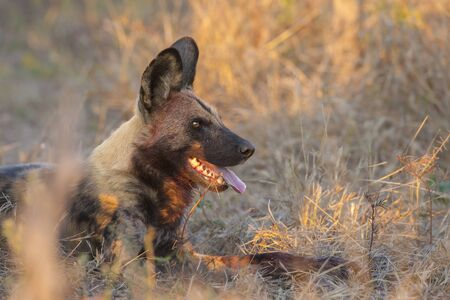 Wild dog (Lycaon pictus) lying in the long grass at the Okavango Delta in Botswana, Africa