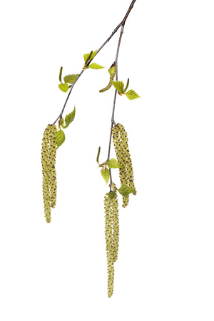 Brich tree (Betula) twig with new leaves and male and female catkins on white background, Germany