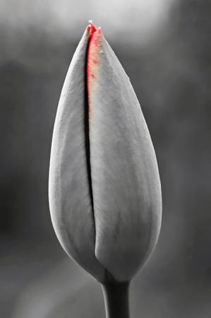 A beautiful tulip in a spring garden