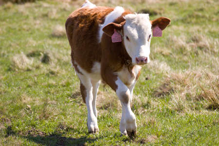 husbandry: small spotted calf Stock Photo