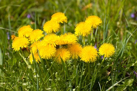 yellows: yellows dandelions