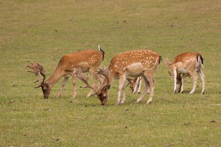 grazing: fawns grazing