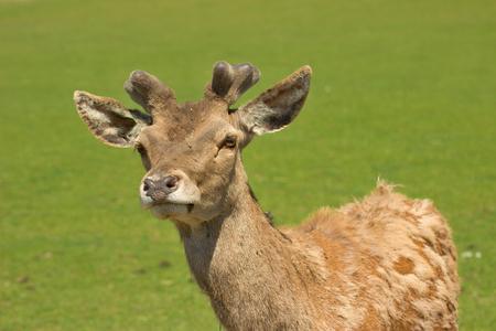 fawn: fawn deer