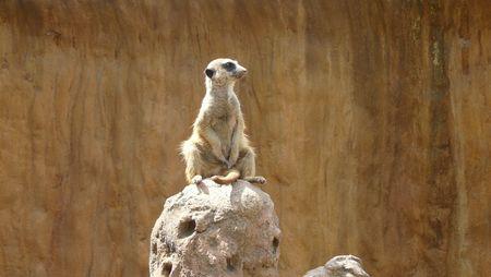 Sitting suricate