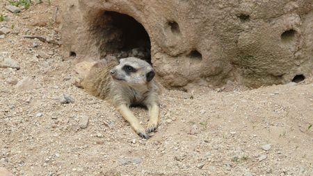 suricate: Laying suricate