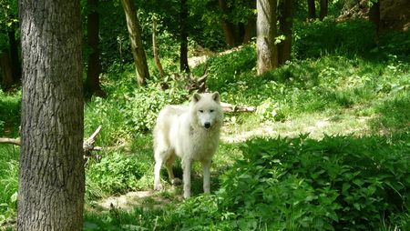Arctic wolf in the greenwood