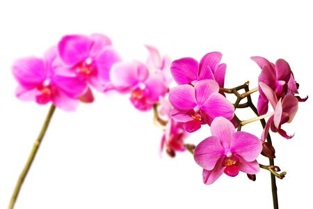 some magenta orchids isolated on white background