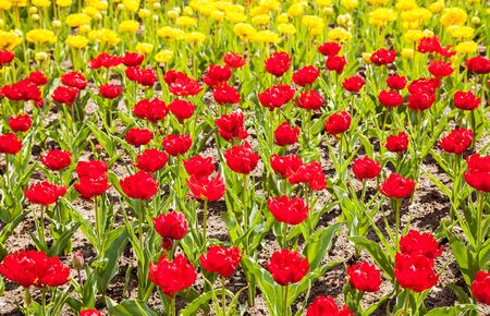 bright yellow and red tulips blooming on the flowerbed on spring day Stock Photo