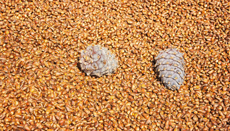 cone shell: a lot of ripe pine nuts new crop with two cones