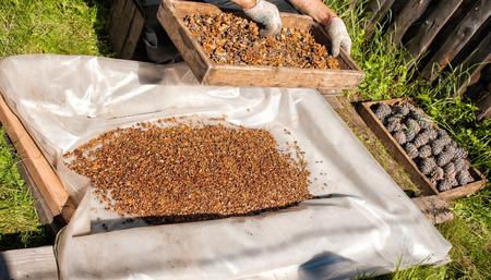 man sifting through a sieve fresh ripe pine nuts outdoor, hands closeup