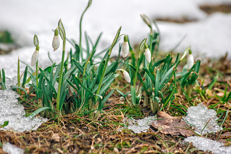 blooming snowdrops in the spring closeup