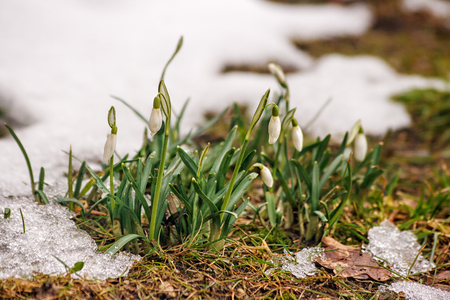 first blooming snowdrops in the early spring