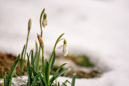 first blooming snowdrops in the early spring closeup