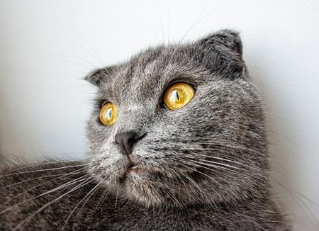 portrait of thoroughbred british cat indoor closeup